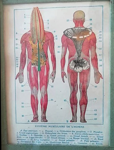 Le-systeme-musculaire-de-lhomme